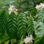 Entenda a diferenças entre as variedades de plantas de café e como isso altera o sabor da bebida